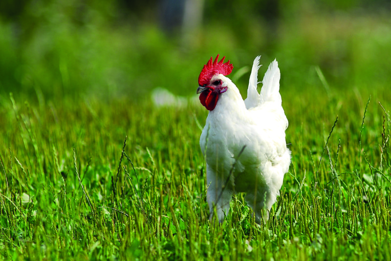 The Bresse chicken has earned the AOC label for its high-quality meat.