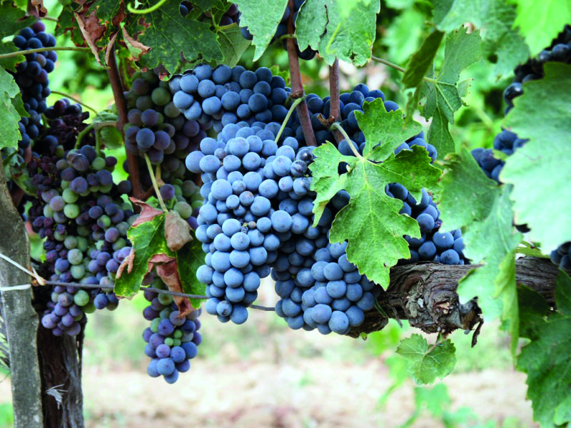Nielluccio is one of the most prolific grape varieties on the island.
