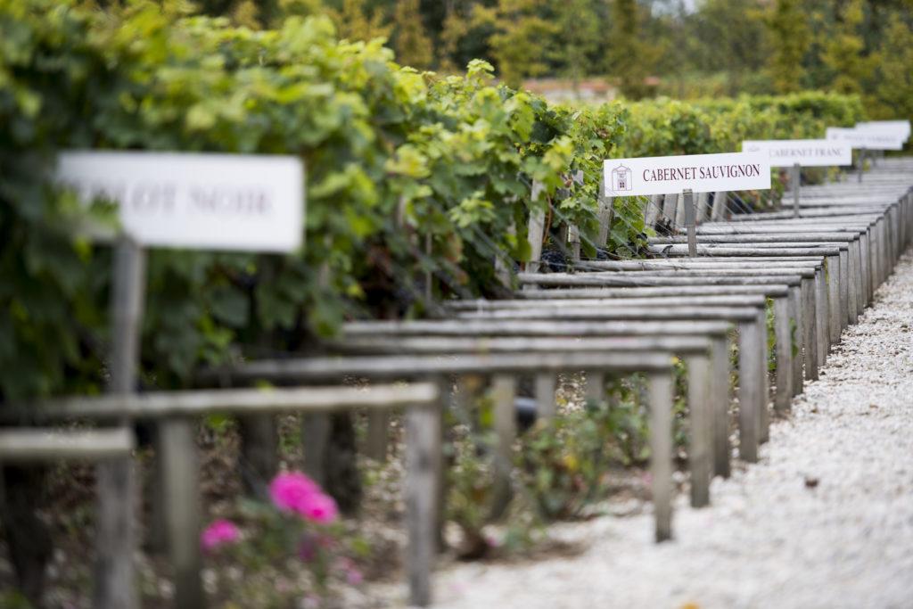 Vineyard in château cordeillan-bages