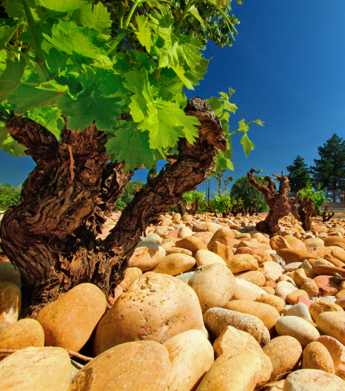 the Rhone river with its unique round white pebbles and the famous Mistral wind make it a terroir so very special