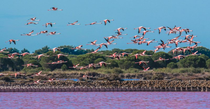 striking sight of the flamingos who gather at the The Camargue in France