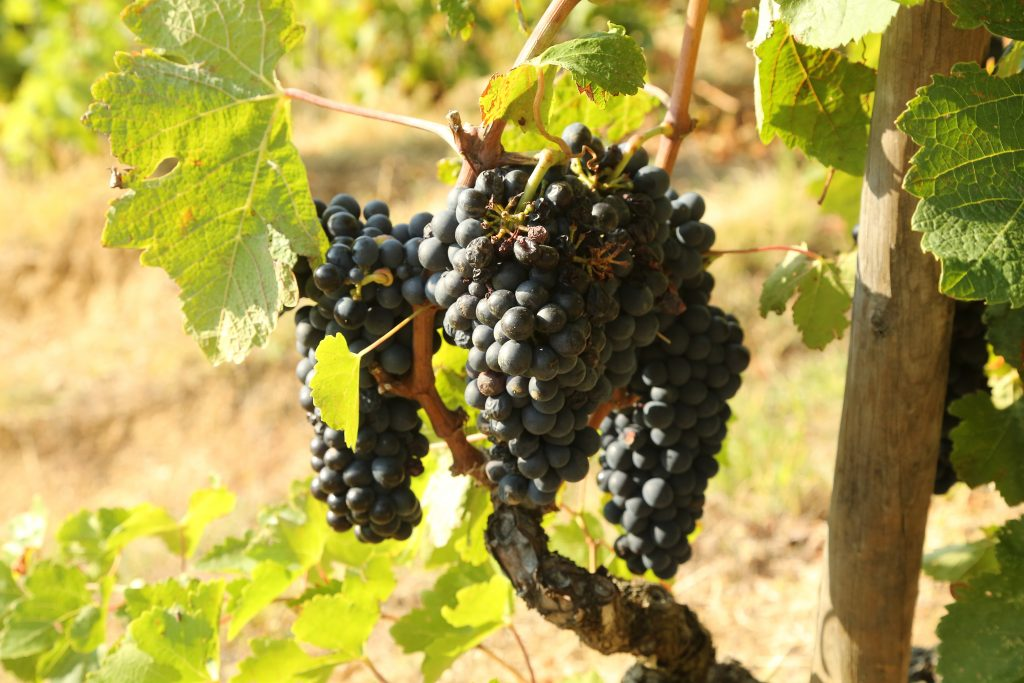Grapes from the vineyard