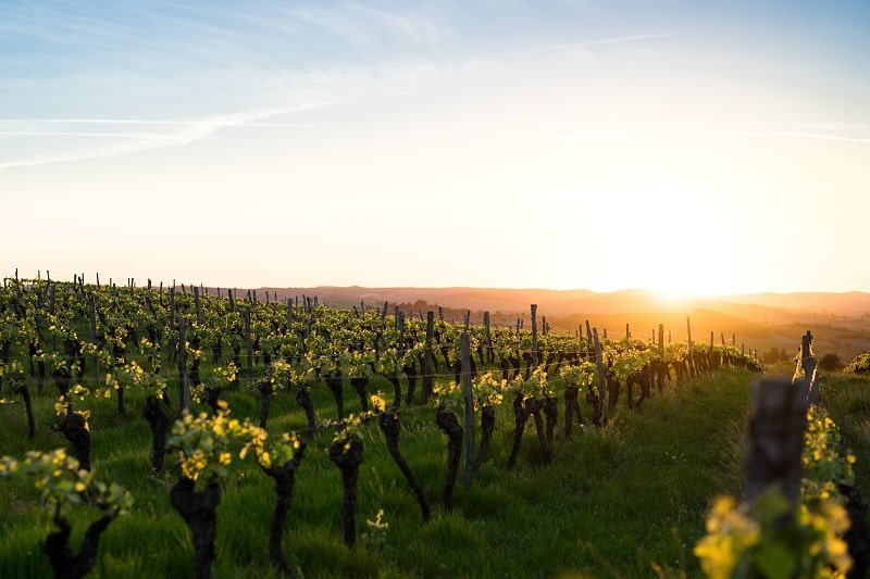 Occitanie vineyard in France
