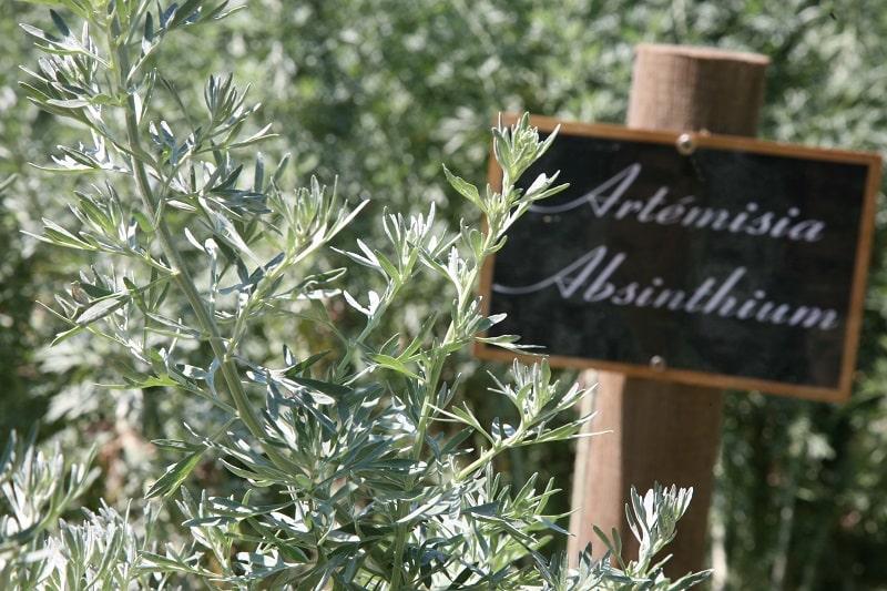 Absinthe plants
