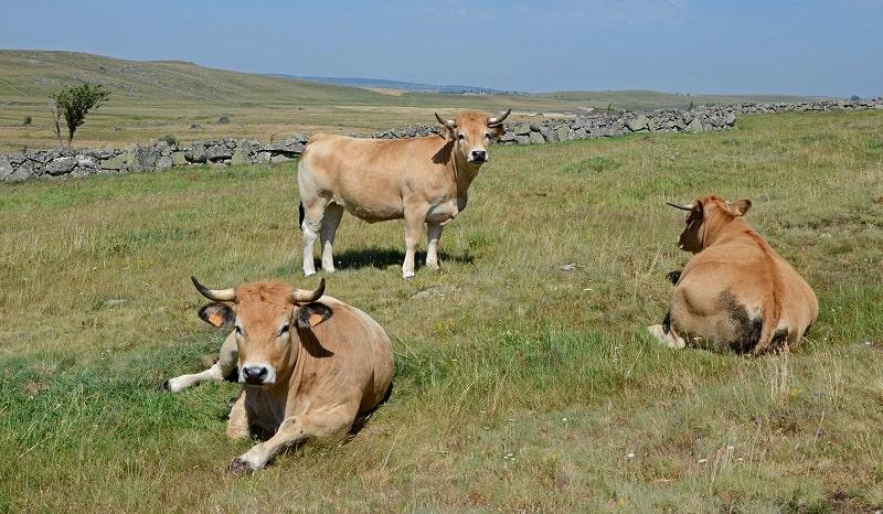 Aubrac cattles