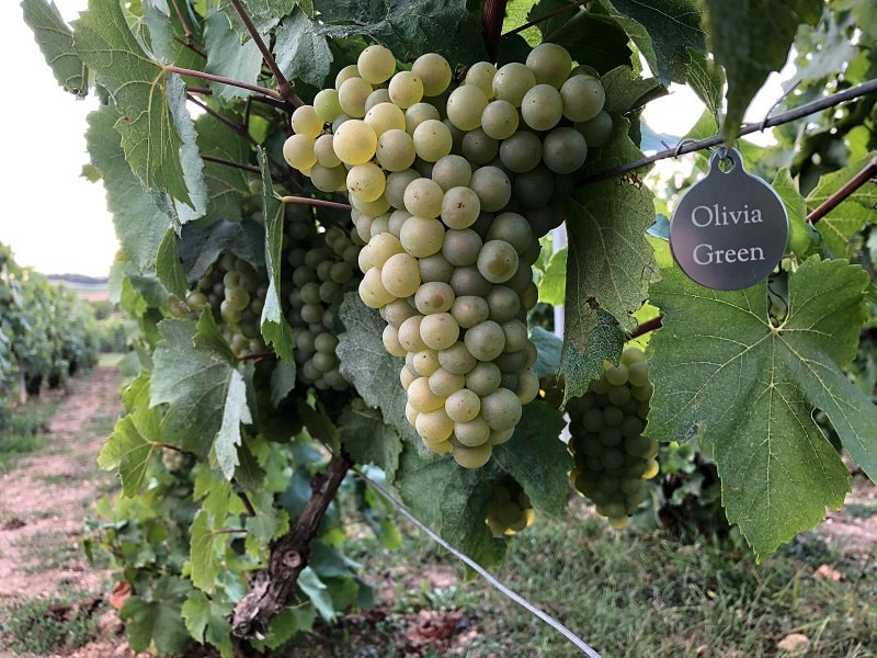 Grapes from the vineyard in france