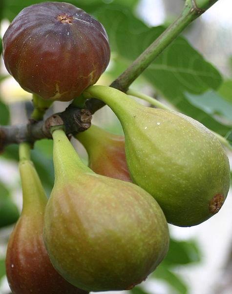 A bundle of figs